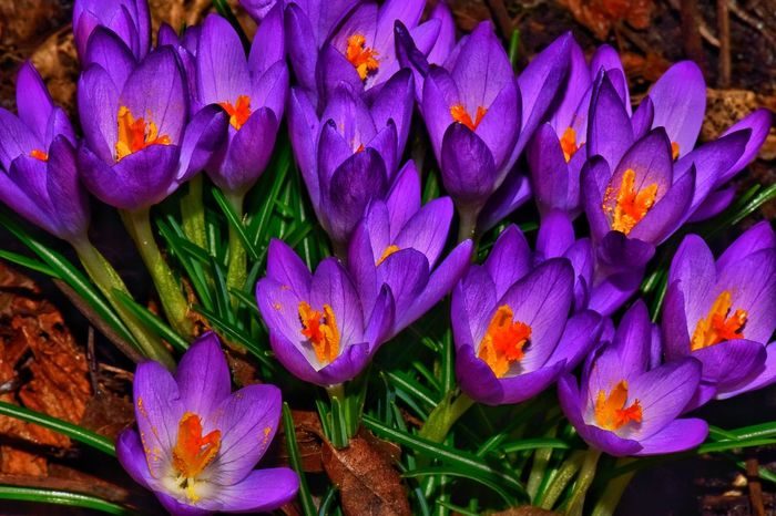 Vibrant EyeEm Selects Purple Flower Petal Freshness Beauty In Nature Flower Head No People Fragility Day Multi Colored Nature Outdoors Close-up Growth Blooming Crocus