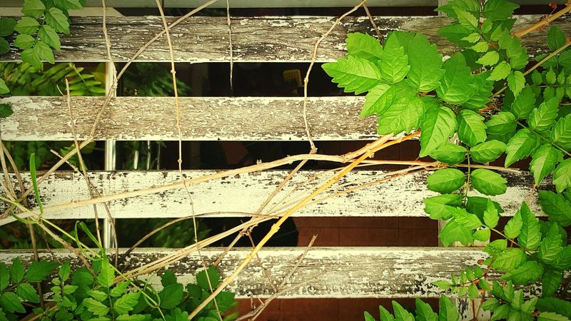 I love Ivy Ivy Roof Growth Nature Green Color Outdoors No People Day Built Structure Architecture Wood Strips Wooden Trellis The Green White Lath Old Wooden Fence Green Color Go Green Feel Green Beauty In Nature Roof Plant On The Roof