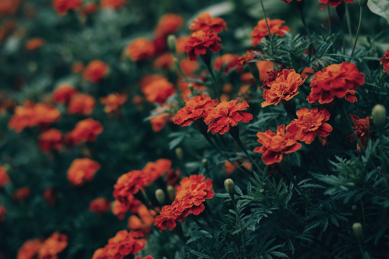 Colored scent... Flower Growth Nature Fragility Freshness Beauty In Nature Plant Blooming Petal Flower Head Close-up Details Of My Life My Favorite Photo Found On The Roll VSCO Fresh On Eyeem  Made In Romania Garden Flowers Red Green Botany Flowers Plants And Flowers Plants Carnation