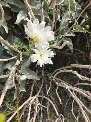 White Color Flower Growth Nature Fragility Petal Freshness Flower Head Beauty In Nature Plant No People Blossom Blooming Outdoors Close-up Day Desert Landscape Desert Beauty Desert Life White