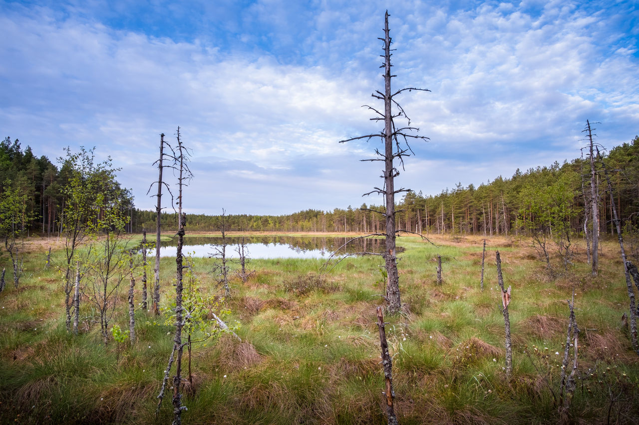 Scenic landscape from mire at summer morning in National Park, Liesjärvi, Finland. Beauty In Nature Blue Cloud - Sky Day Deadwood  Forest Fresh Grass Green Growth Lake Landscape Mire Morning National Park Nature Outdoors Pine Plant S Scenics Tranquil Scene Tranquility Trunk Water