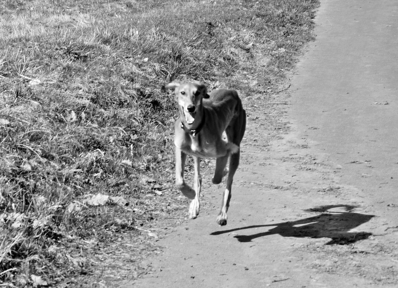 Animal Themes Day Dog Domestic Animals Field Grass Mammal Momochrome Photography Nature No People One Animal Outdoors Pets Running Dog Saluki