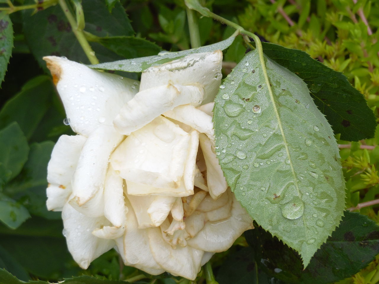 In Wentzville Missouri Flower Head Fragility Botany Softness Selective Focus Flower Green Color