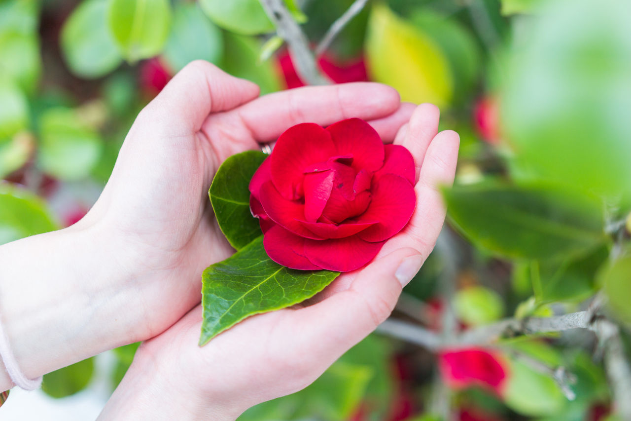 Arboretum Beauty In Nature Blooming Close Up Close-up Day Flower Fragility Freshness Green Growth Holding Human Body Part Human Hand Leaf Life Macro Nature Outdoors Plant Real People Red Red Rose - Flower Summer