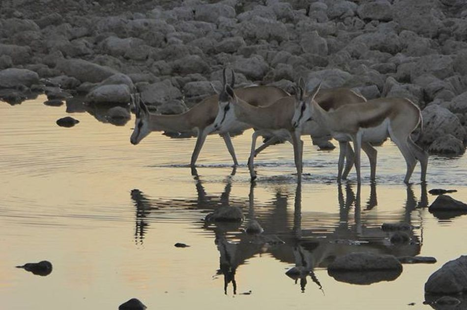 Three springbok cautiously having an evening drink at the waterhole at Okaukuejo in Etosha National Park, Namibia. For some unknown reason my expectations for Etosha were pretty low, but boy was I wrong. Fantastic place! Springbok Etosha Etoshanationalpark Namibia Acaciaisafrica AcaciaAfrica Reflection