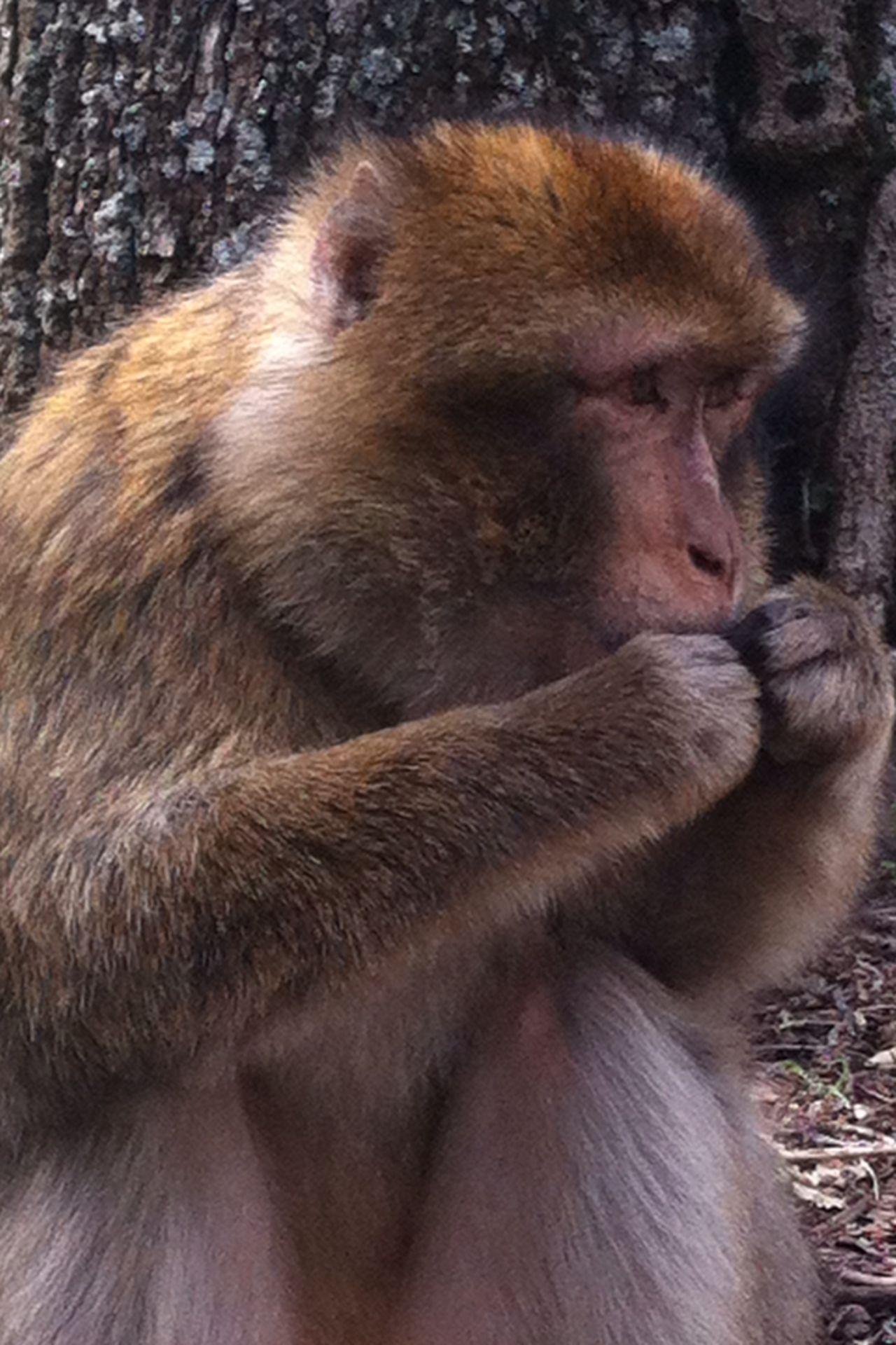 Eatingpistachio Monkey Animal Azrou Morocco Playful Friendly Funtimes