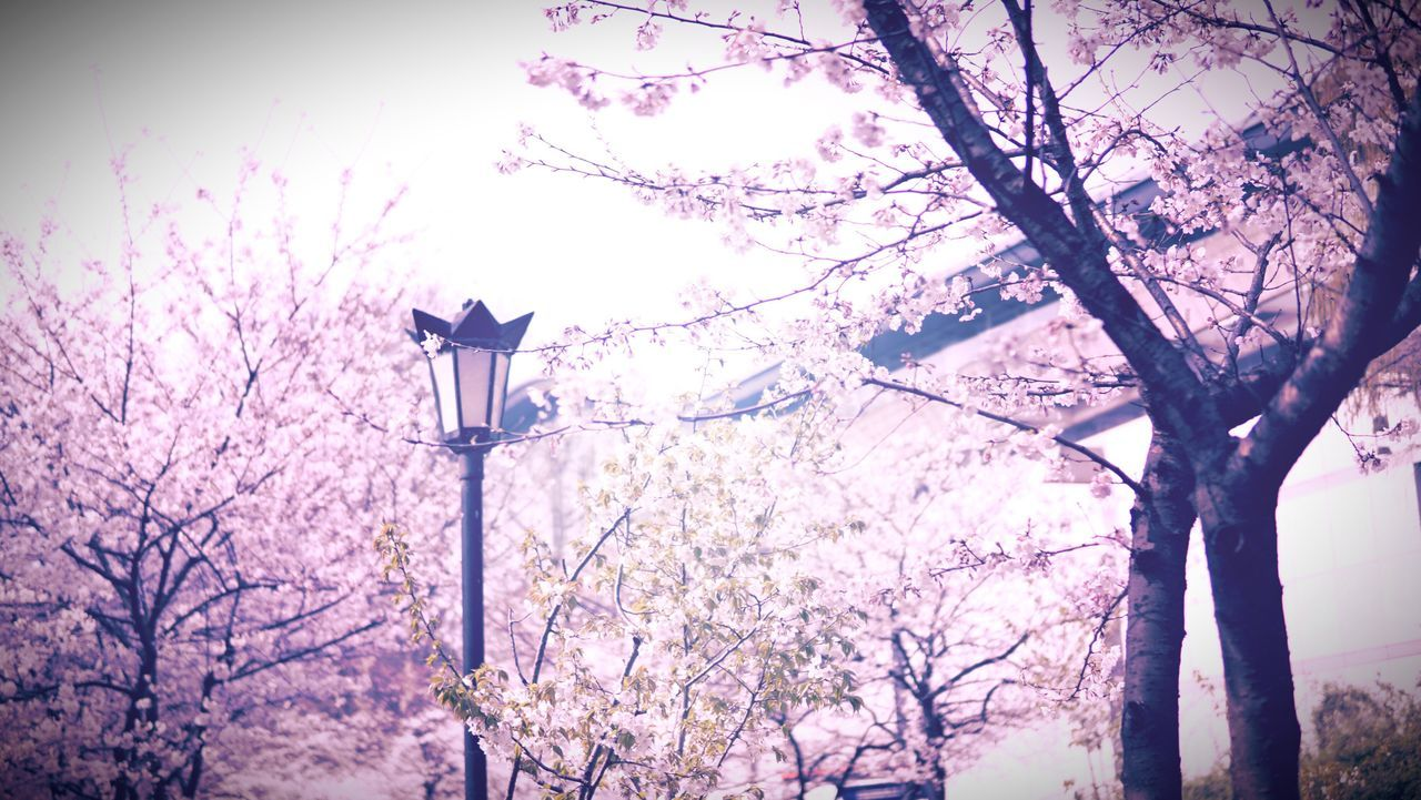 Tree Low Angle View Nature No People Lighting Equipment Growth Sky Beauty In Nature Branch Flower Outdoors Day
