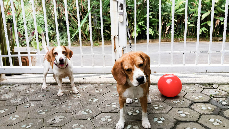 Two Is Better Than One play date Dog Dog Love Dogs Of EyeEm Dog❤ Doglover Dogstagram Dogslife Friendship Friends Lover Eyeem Market Eye4photography  EyeEm Eyeemmarket Eyeemphoto EyeEm Gallery Beagle Beagles  Phograph Photography Photo