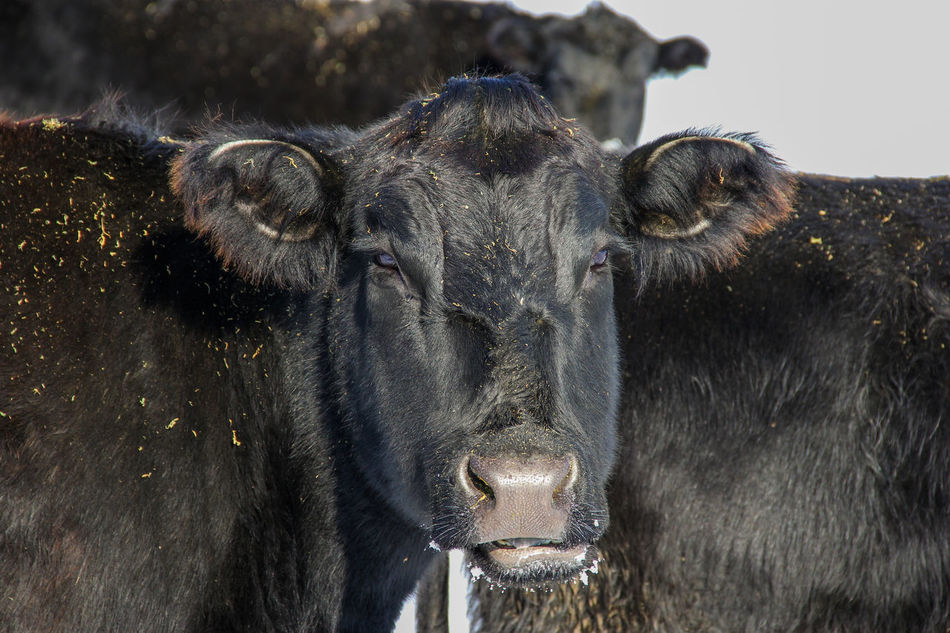 Agriculture Animal Black Black Angus Canon60d Canonphotography Cattle Cow Day Domestic Animals Farm Livestock Looking At Camera Outdoors Ranch