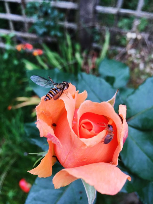 Peach Rose Hoverfly Spider Outdoor Photography Nature Photography My Garden