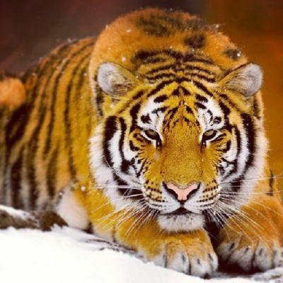 Occhi Della Tigre Super tiger bellissima