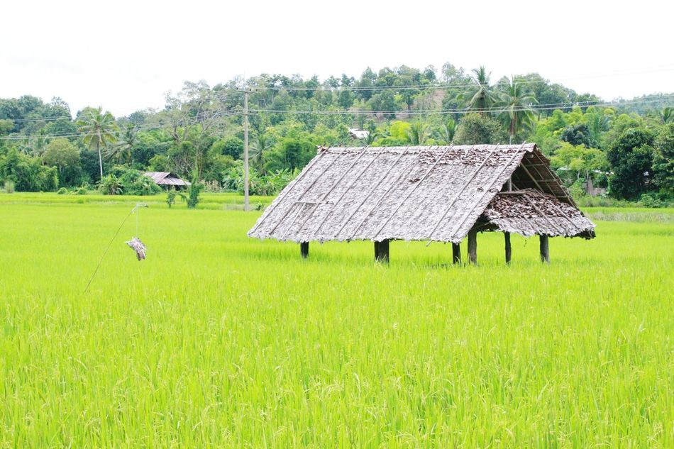 💃💃 Nature Tree Farm Rice - Cereal Plant Rice Farm Sky Trees And Nature Green Color Growth Meahongson