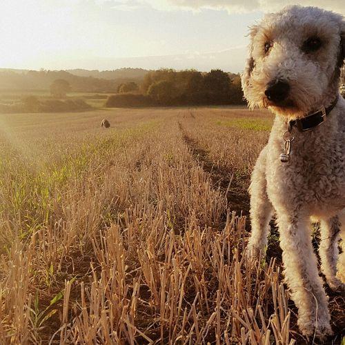 Jonathan Little Dog Dog In Field Dog Lover Dog Harvested Field Close Up Beddlington Dog In Field Beddlington