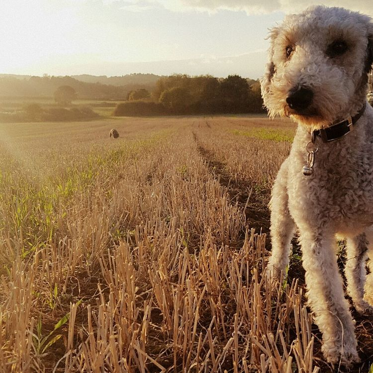 Jonathan Little Dog Dog In Field Dog Lover Dog Harvested Field Close Up Beddlington Dog In Field Beddlington