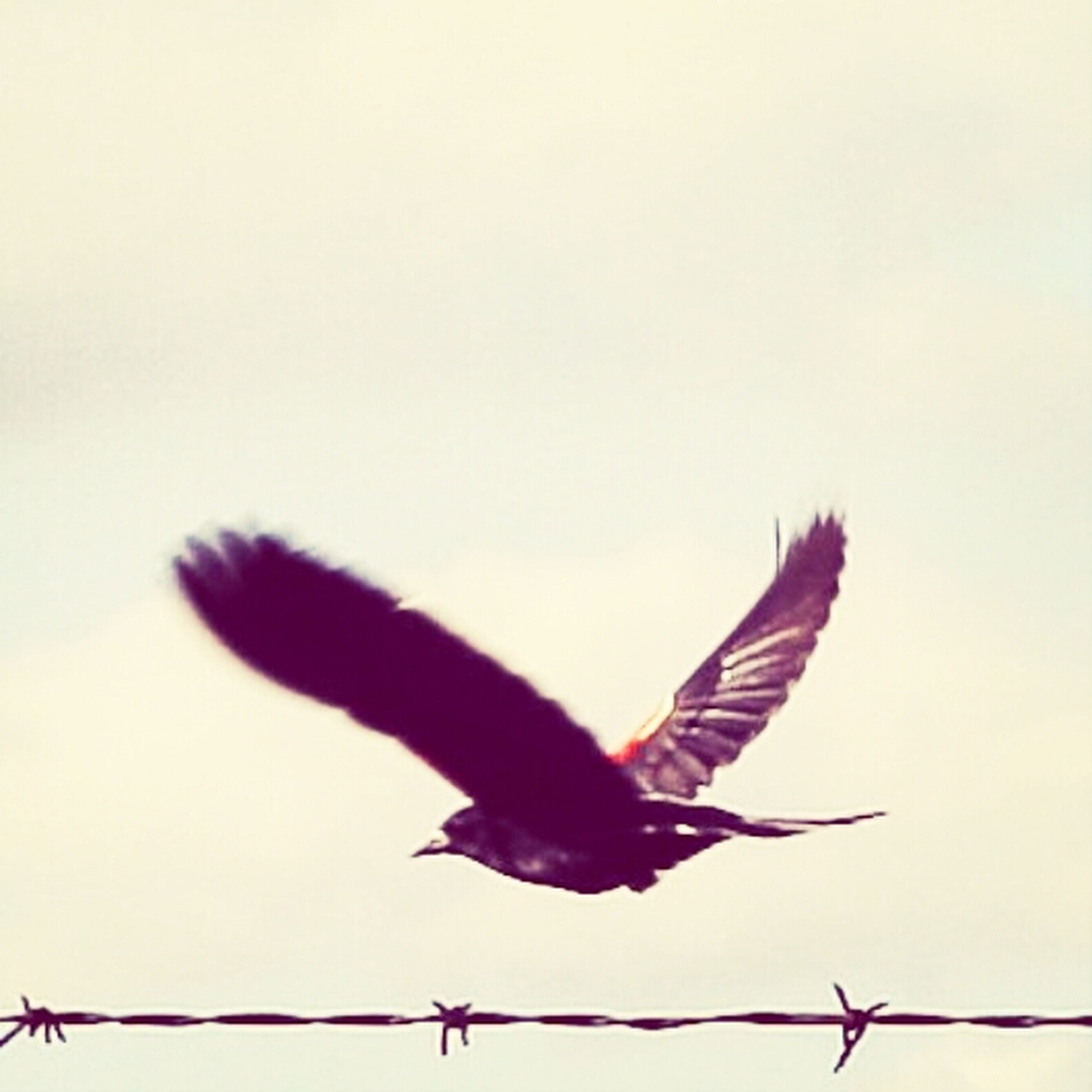 bird, animals in the wild, animal themes, flying, wildlife, low angle view, spread wings, clear sky, perching, mid-air, one animal, full length, copy space, sky, nature, outdoors, day, silhouette, two animals, no people