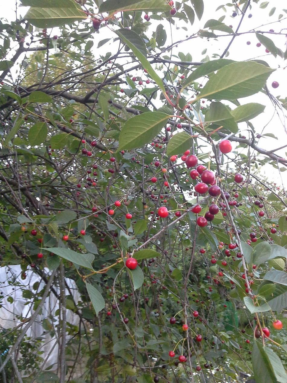 Вишневый микс!!! Cherry Mix Cherry Fruits Natural Beauty Nature Photography Nature_collection EyeEm Nature Lover EyeEm Best Shots - Nature Summer ☀