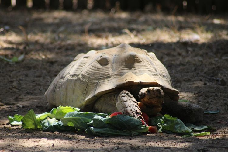 Animal Animal Photography Animal Shell Animal Themes Animals Close-up Day Dust Exceptional Photographs EyeEm Animal Lover EyeEm Best Shots My Year My View Nature Old Outdoors Reptile Safari Safari Animals Shadow Shell Tortoise Tortoiseshell Turtle Turtles Vegetables