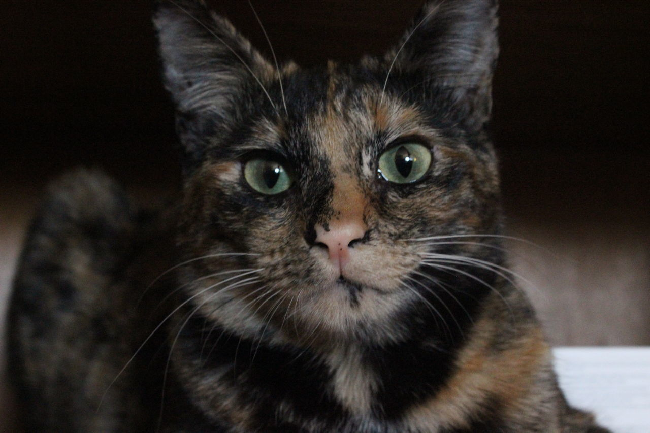 Bored Cat Comfortable Feline Home Indoors  Looking At Camera One Animal One Black Whisker Pink Nose Portrait Relaxation Tortoiseshell Cat Whisker