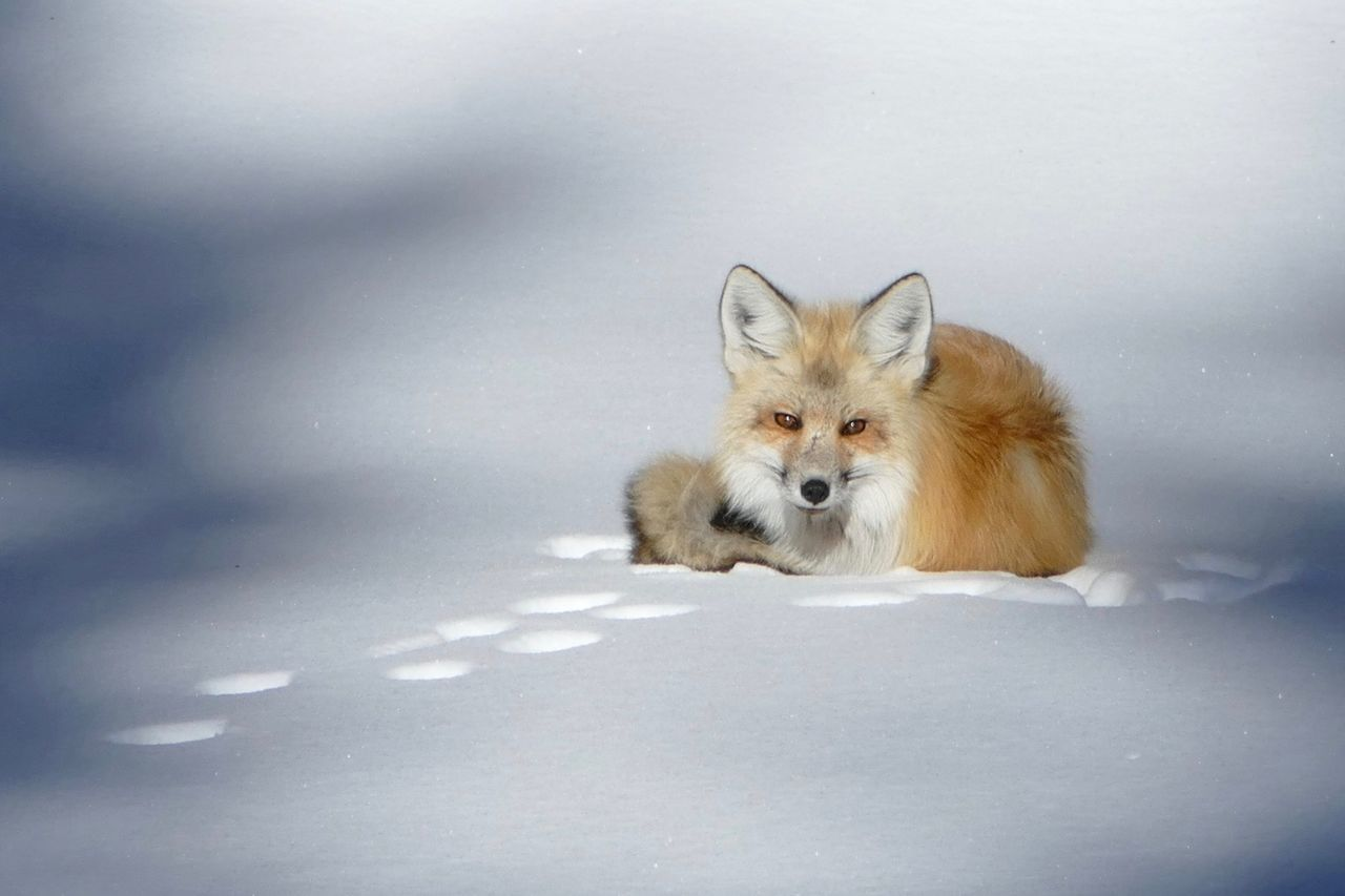 Beautiful stock photos of fox,  Animal Wildlife,  Animals In The Wild,  Brown,  Cold Temperature