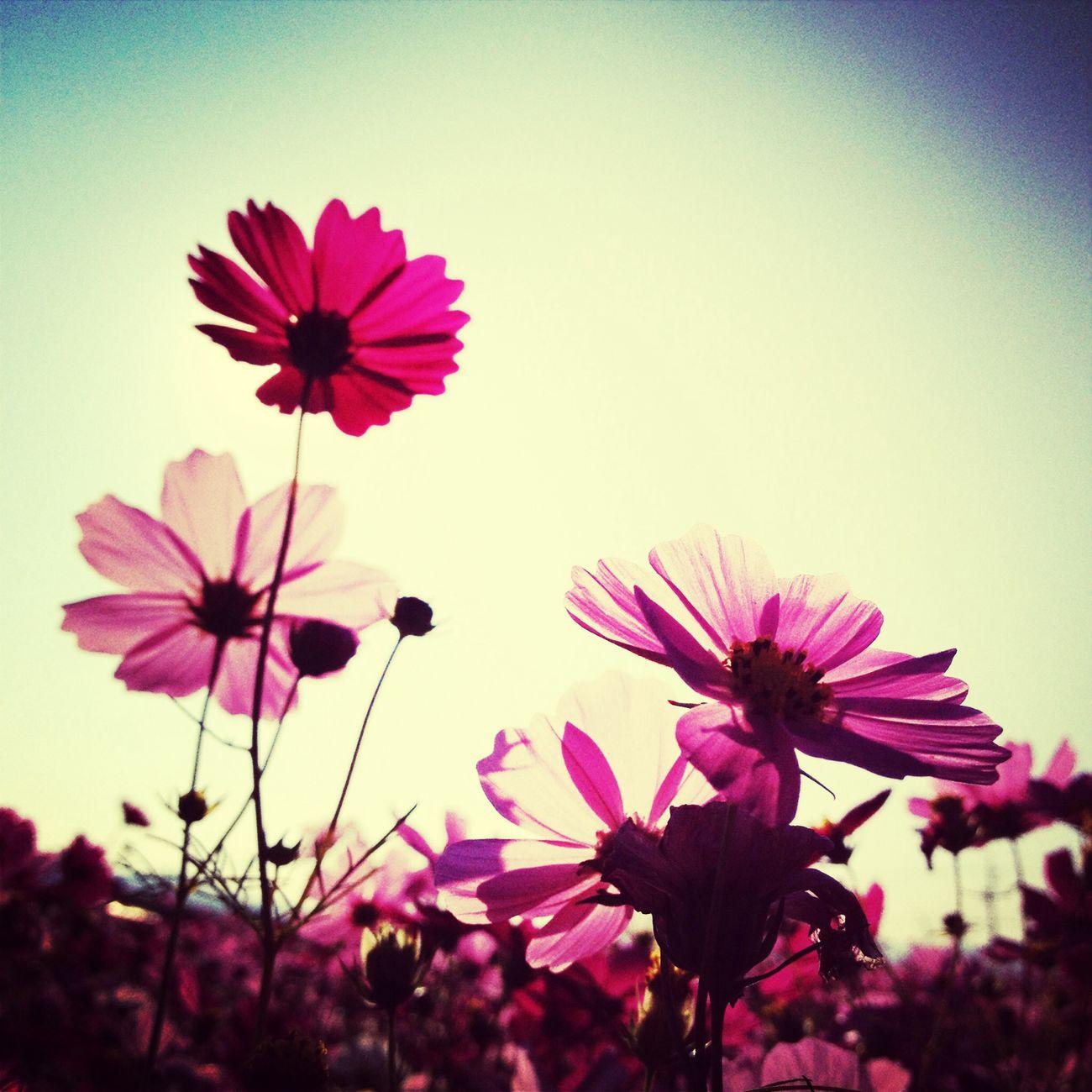 新社花海 新社花海 Flowers 花畑 コスモス