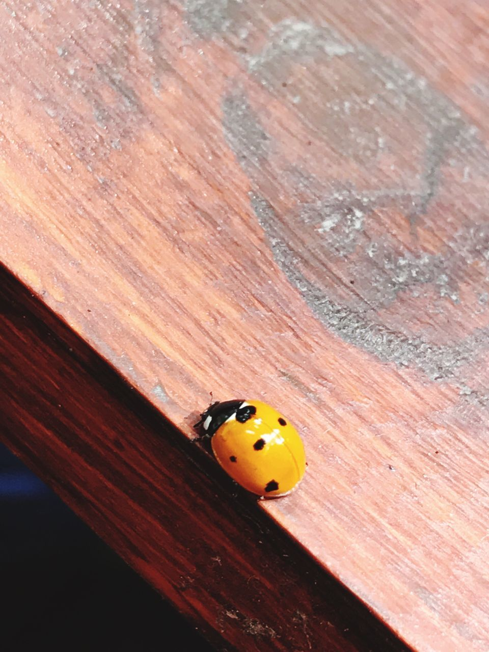 ladybug, wood - material, close-up, no people, red, tiny, yellow, day, indoors, animal themes