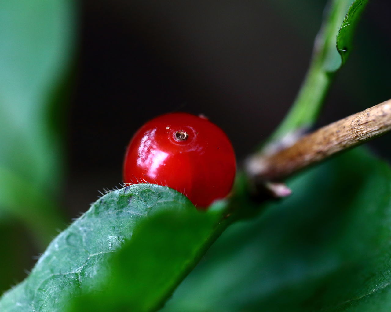 Beauty In Nature Berry Close-up Eye4photography  EyeEm Best Shots EyeEm Gallery EyeEm Nature Lover Food Fruit Green Growth Macro Natural Pattern Nature New Life Red Still Life Vibrant Color Wild Cherry Yummy TakeoverContrast Yummy♡ Sour Healthy Healthy Food