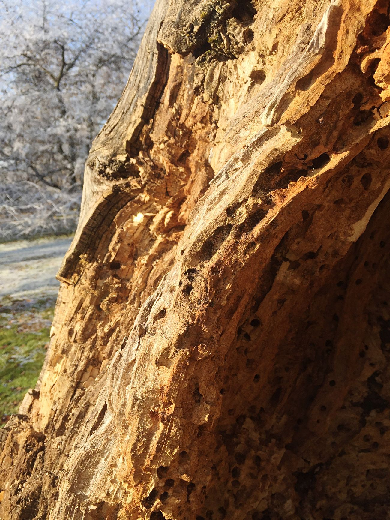 Dead Tree Tree Stump Nature Rough Showcase: December Walking Around Beauty In Nature ☀️❄️🌰