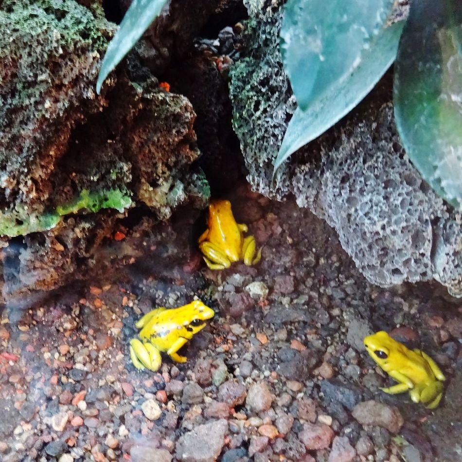 Phyllobates Terribilis Golden Poison Dart Frog Nature Nature_collection EyeEm Nature Lover
