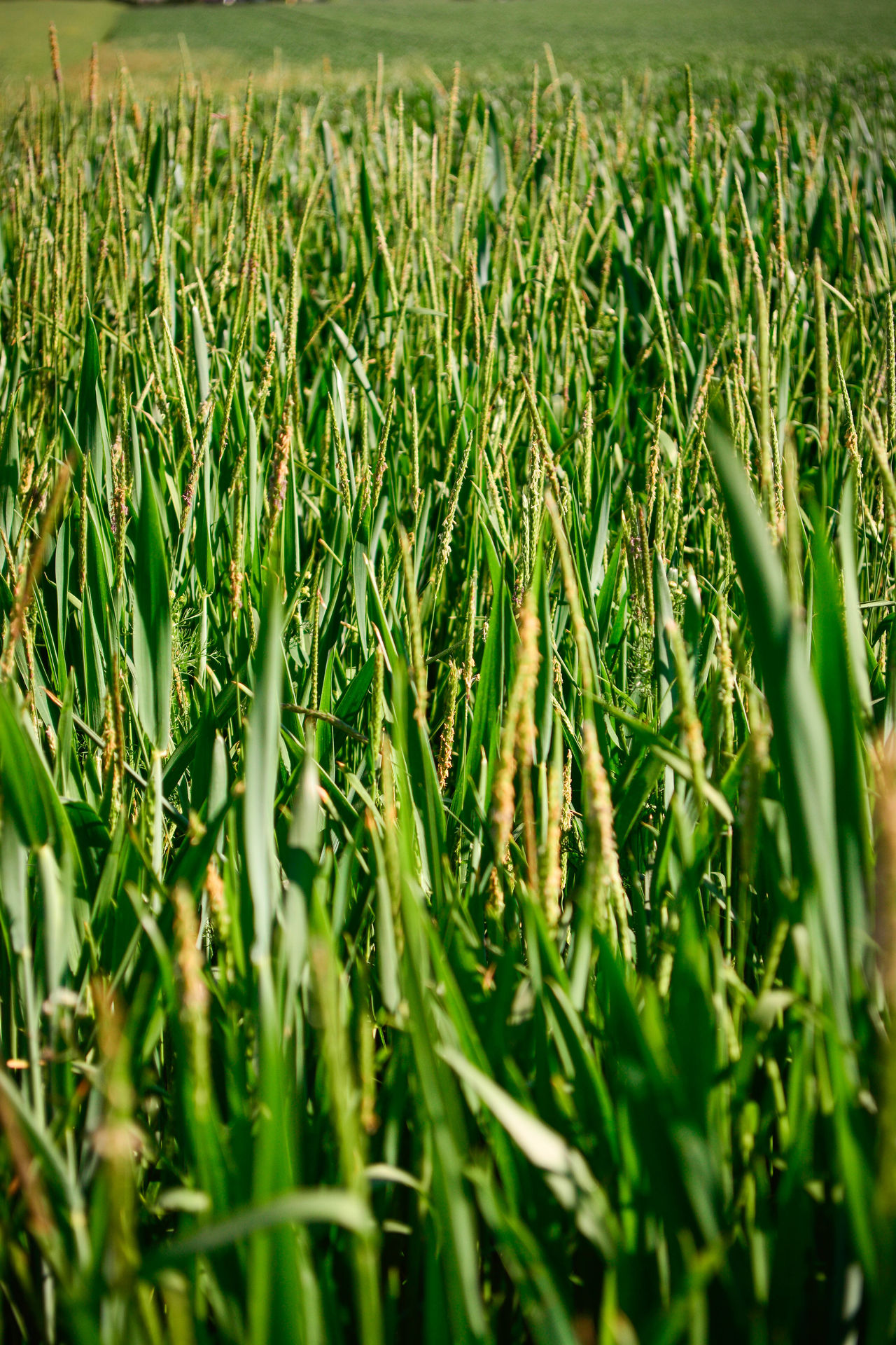 Agriculture Beauty In Nature Close-up Day Field Full Frame Grass Green Color Growth Nature No People Outdoors Plant Tranquility Wheat Wheat Field The Street Photographer - 2017 EyeEm Awards The Great Outdoors - 2017 EyeEm Awards