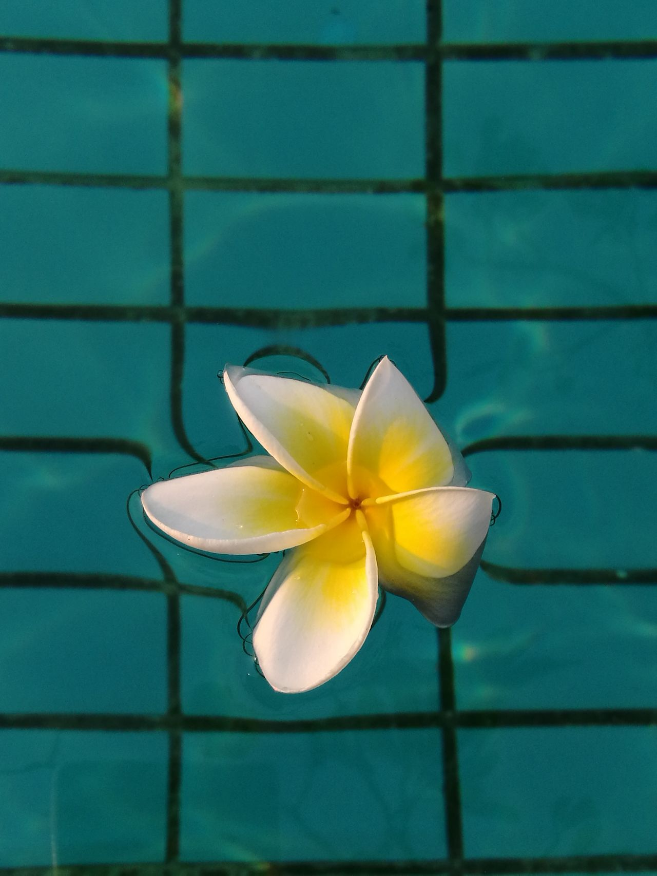 No People Close-up Frangipani Outdoors Day Blue Pool Clear Relaxing Swimming Pool Water Flower flower in the pool White And Green White&green The Week Of Eyeem Floting EyeEmNewHere