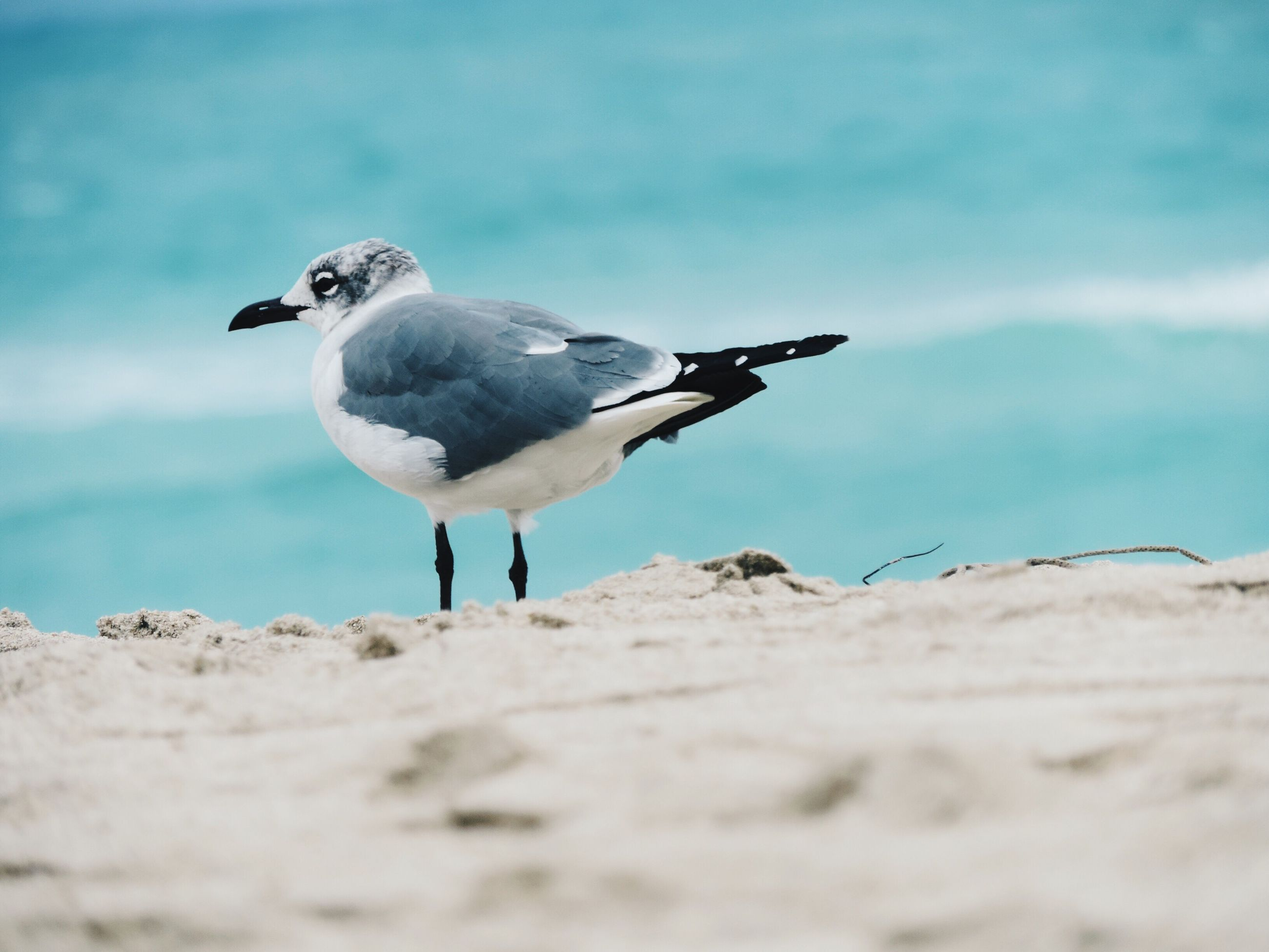 bird, seagull, animal themes, animals in the wild, beach, wildlife, one animal, full length, sand, sky, nature, focus on foreground, shore, sea, perching, day, blue, selective focus, outdoors, spread wings