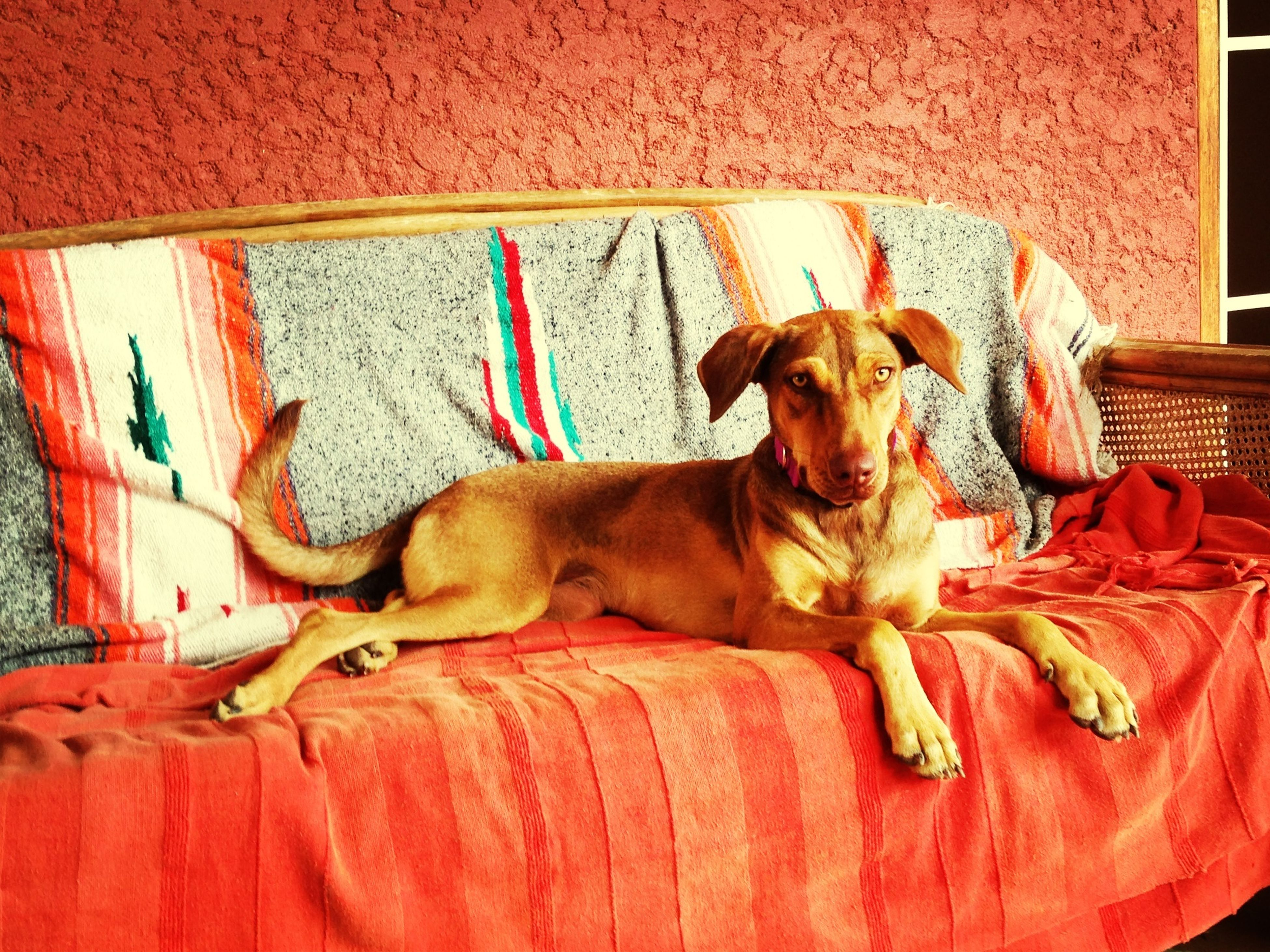 domestic animals, animal themes, mammal, pets, one animal, dog, relaxation, indoors, lying down, resting, two animals, brown, sleeping, no people, sofa, wall - building feature, pet collar, domestic cat, animal head, home interior
