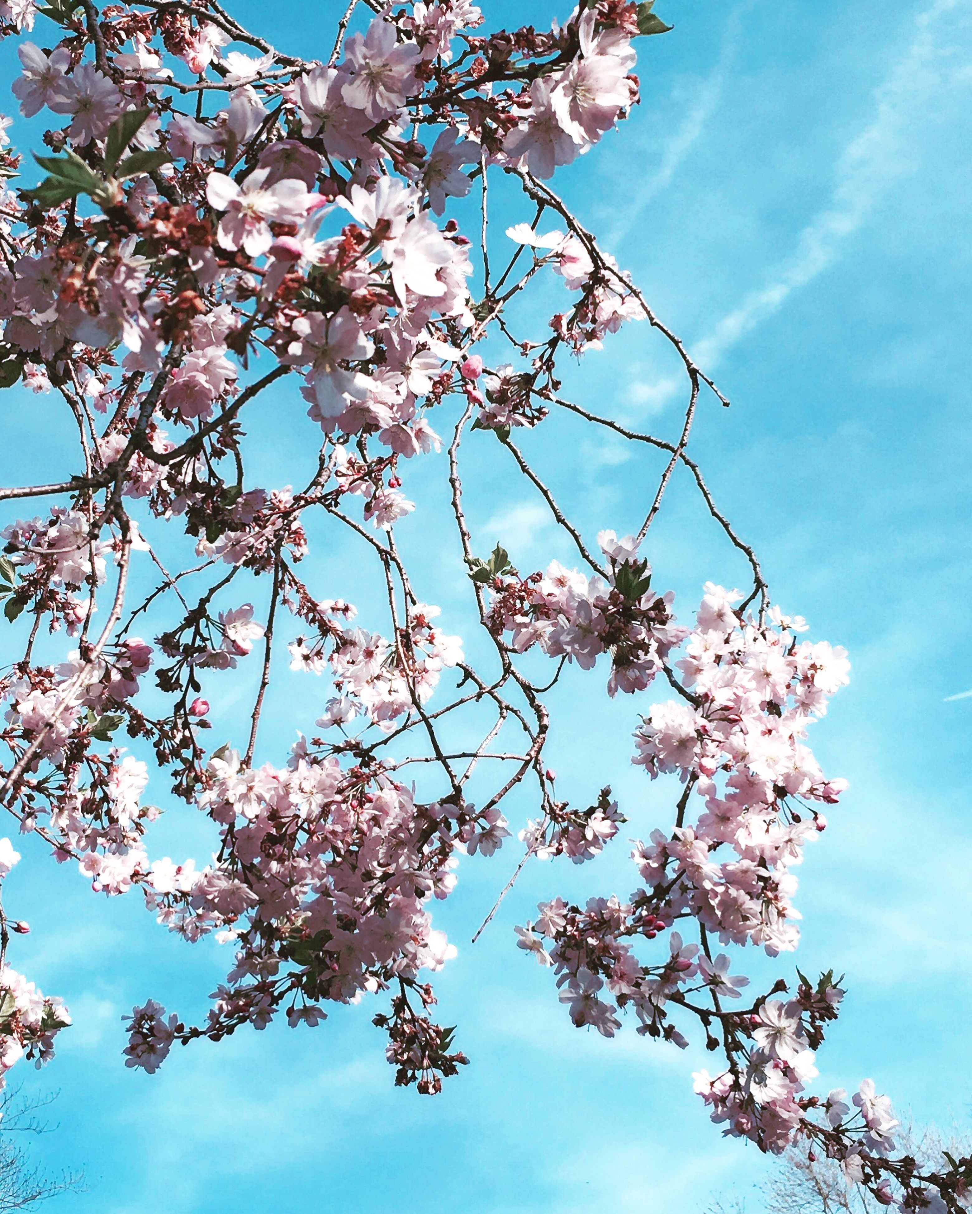 low angle view, flower, branch, tree, freshness, growth, beauty in nature, sky, cherry blossom, blossom, nature, blue, fragility, cherry tree, in bloom, fruit tree, springtime, blooming, day, twig