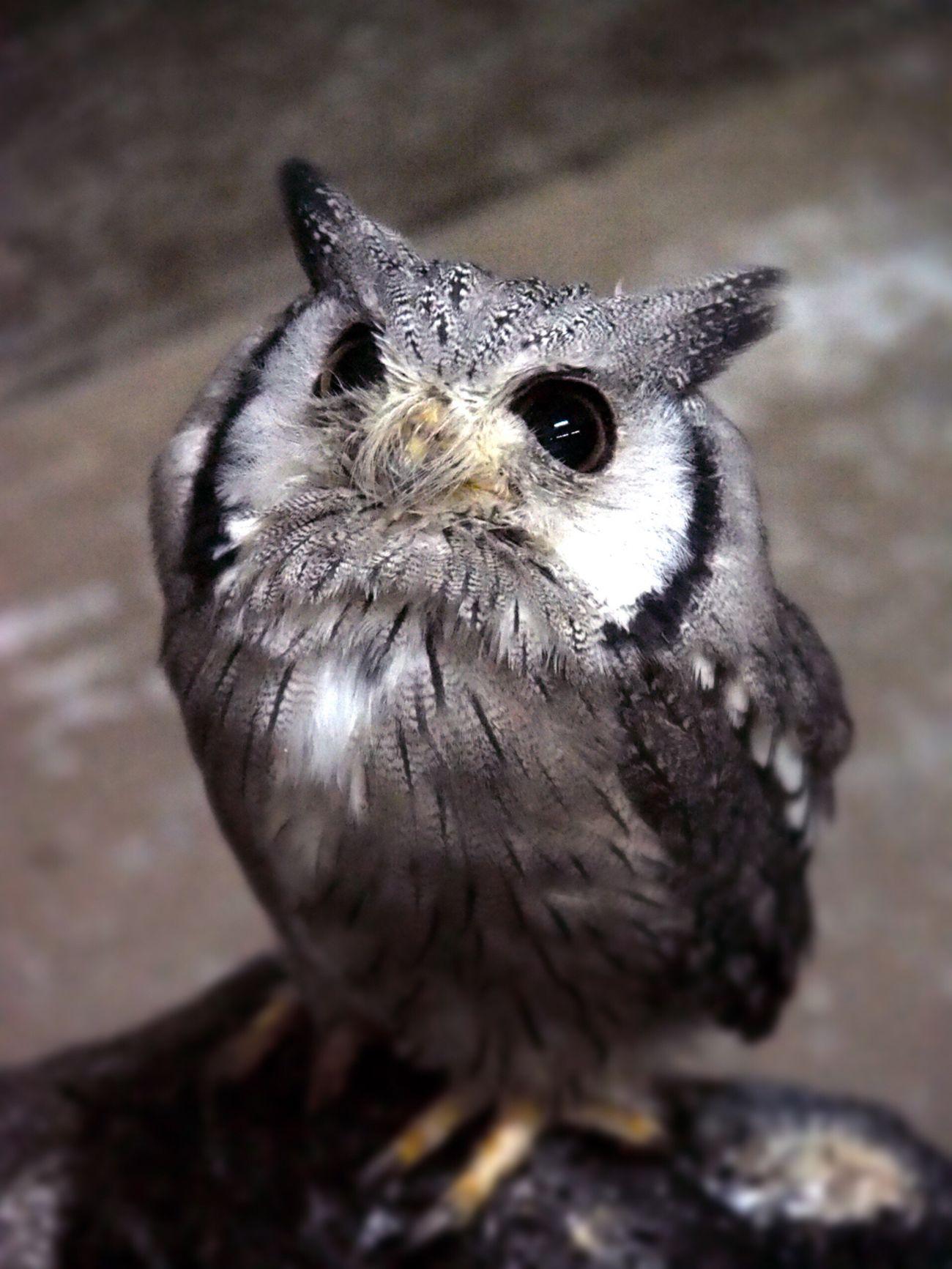 ねぇ。チョコ🍫ちょーだい。チョコ🦉❤️ Animal Themes One Animal Bird Animals In The Wild Bird Of Prey Close-up Nature Animal Wildlife Owl From My Point Of View Owl Eyes EyeEm Gallery あとアイスも…😋🍨