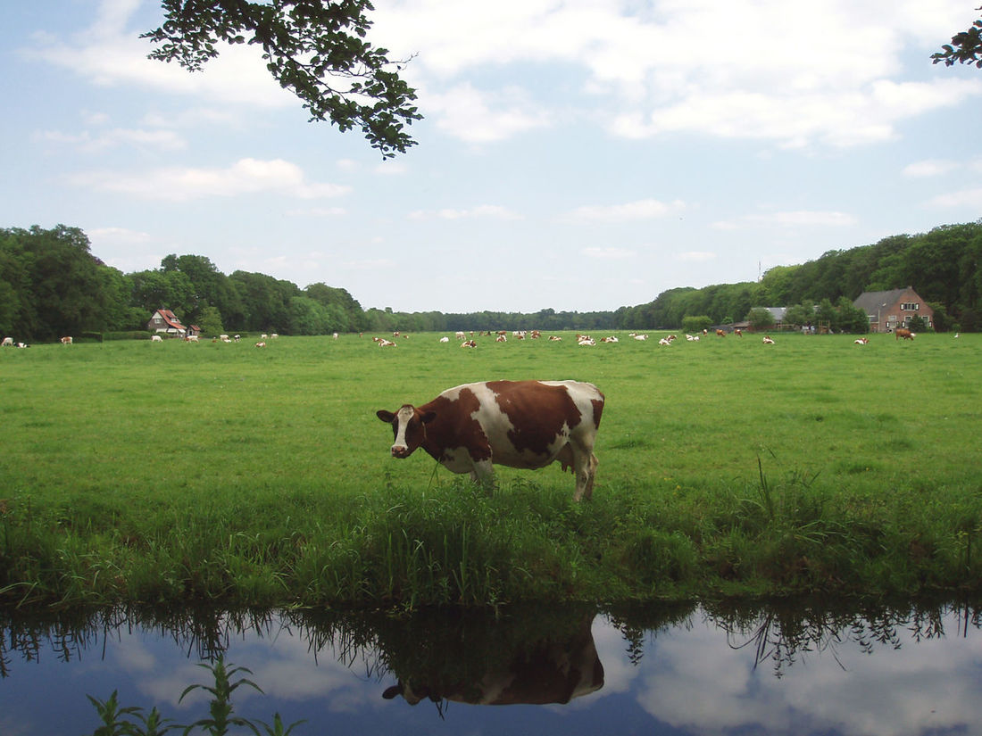Typical Dutch landscape. Cow Landscape Grass Livestock Grazing Reflection S'gravenland Netherlands Water