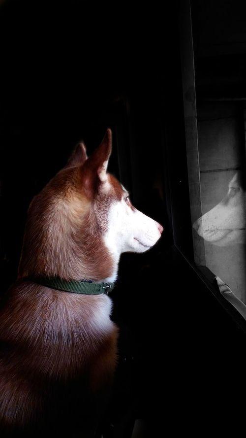 Pets Dog One Animal Animal Themes Sitting No People Day Indoors  Husky Husky ♡ Husky Love Huskydogs Huskypuppy Huskylovers Huskyfanatic Dogs Dog❤ Dog Photography Reflection Dog Reflection