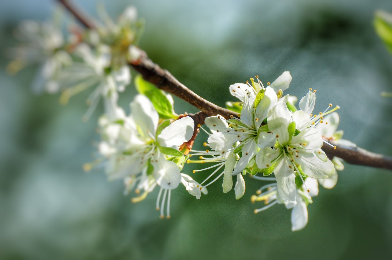 flower, fragility, white color, growth, nature, beauty in nature, blossom, twig, tree, day, springtime, close-up, freshness, no people, branch, outdoors, petal, one animal, flower head, animal themes