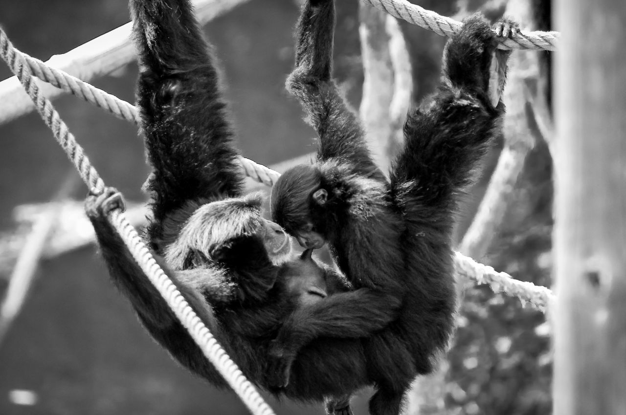 rope, hanging, animal themes, no people, animals in the wild, mammal, monkey, day, animal wildlife, outdoors, nature, close-up
