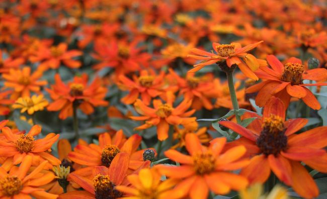 Autumn Colors Beauty In Nature Blooming Flower Flower Head Flowers Fragility Freshness Nature Orange Color Petal