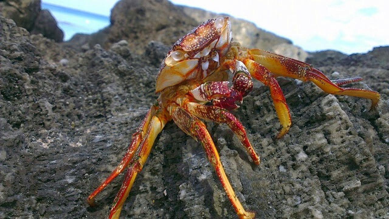 Crab Nature Caribbean Barbados
