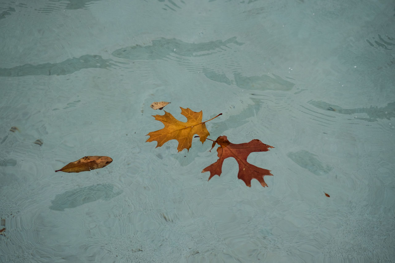 Floating Autumn Autumn Collection Close-up Day Fall Colors Floating On Water Fort Worth High Angle View Leaf Maple Maple Leaf Nature No People Outdoors Texas Water Water Surface Water_collection