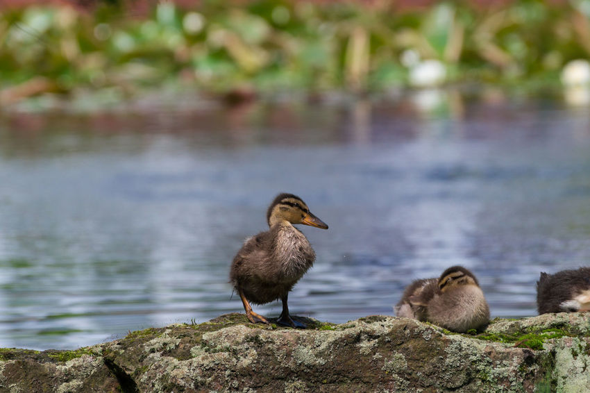 Bird Photography Birds Capture The Moment Close-up Cute Duck Duckling Ducklings Ducks Focus On Foreground In Front Of Lake Little Lovely Mallard Mallard Duck Mallards Nature Small Stones Stones & Water Water Water Bird Wildlife & Nature Wildlife Photography