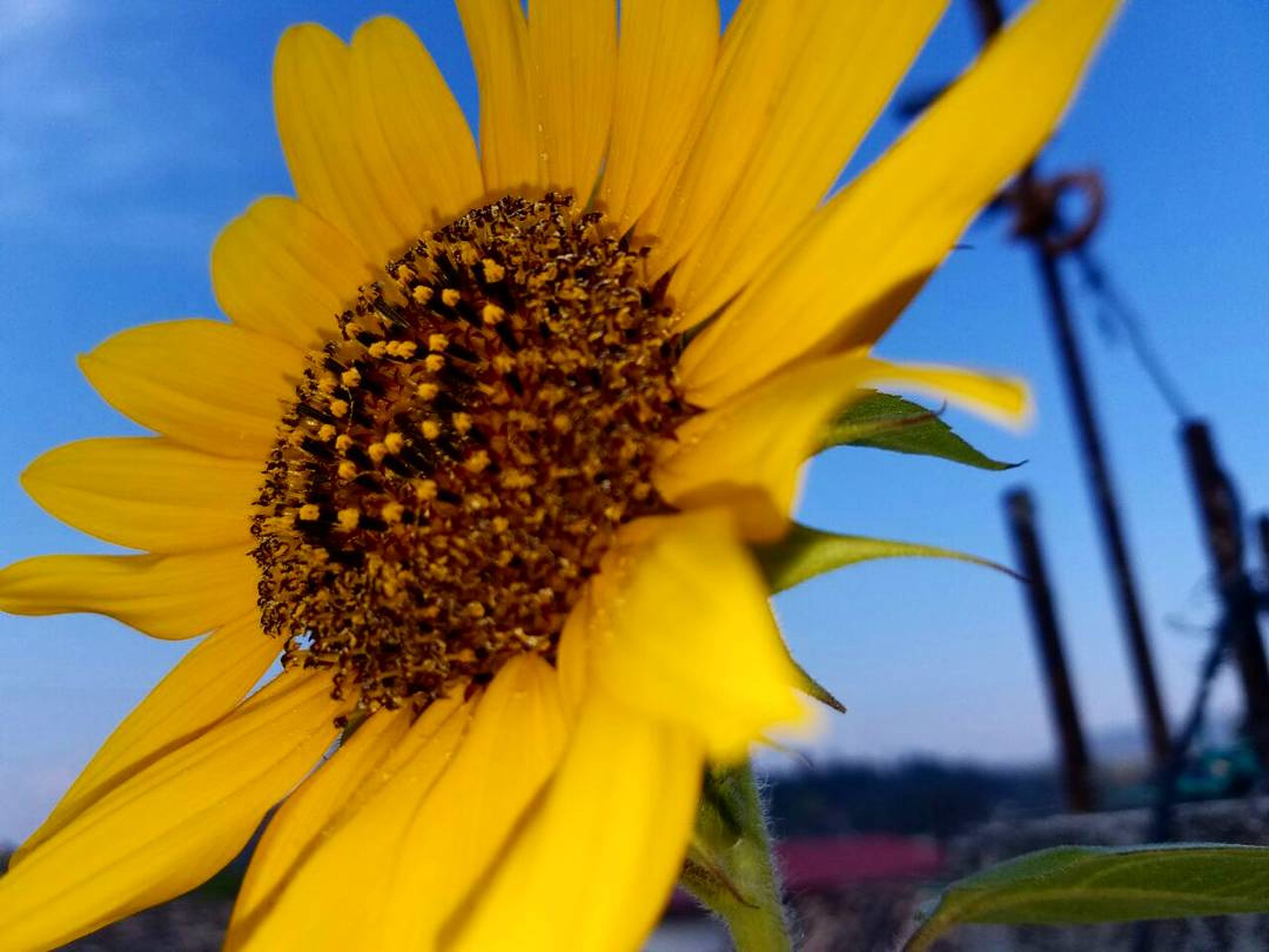 flower, petal, beauty in nature, fragility, nature, sunflower, flower head, yellow, freshness, growth, pollen, close-up, plant, blooming, sky, day, no people, outdoors, seed