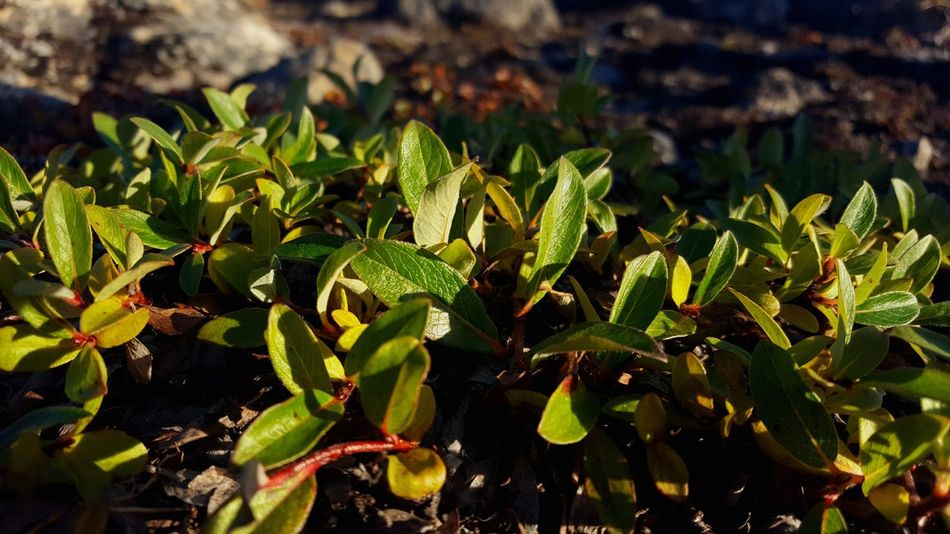 Green Color Plant Innaarsuit Greenland Outdoors Day Summer Photograph Amateurphotography No People Close-up Beauty In Nature Photography Is My Escape From Reality! Nature Photography