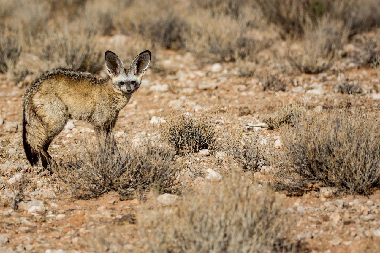 Portrait Of Bat-Eared Fox On Grass