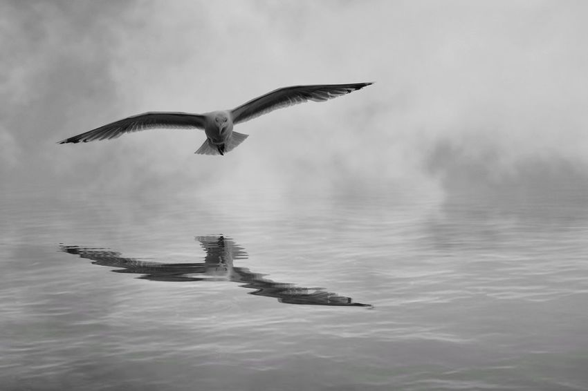 Seagull Flying Spread Wings Beauty In Nature Sea Outdoors Mid-air Bird Nature Full Length Flight Avian Reflection Water Wings Spread Black And White Monochrome Seagulls One Animal Nature Reptile No People Sky