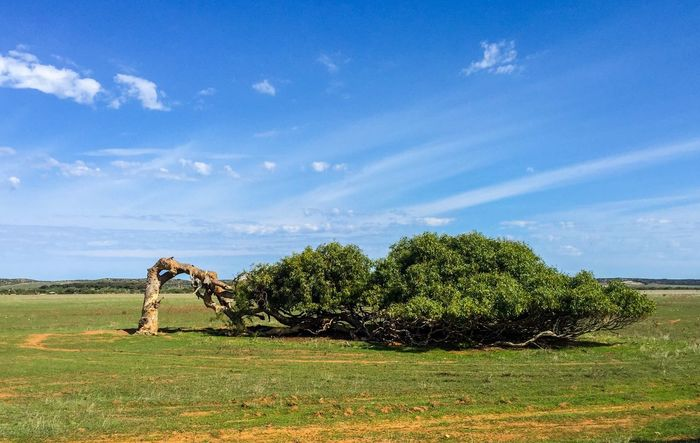Leaning Tree of Greenough Sky Tree And Sky Tree_collection  TreePorn Tree Trunk Bent Tree Green Leaves Showcase June Natural Beauty Unique The Great Outdoors - 2016 EyeEm Awards Landscape Australia Western Australia Geraldton Bent Windswept Gum Trees River Gum Red River Gum Eucalyptus Nature Tree Leaning Leaning Tree Of Greenough
