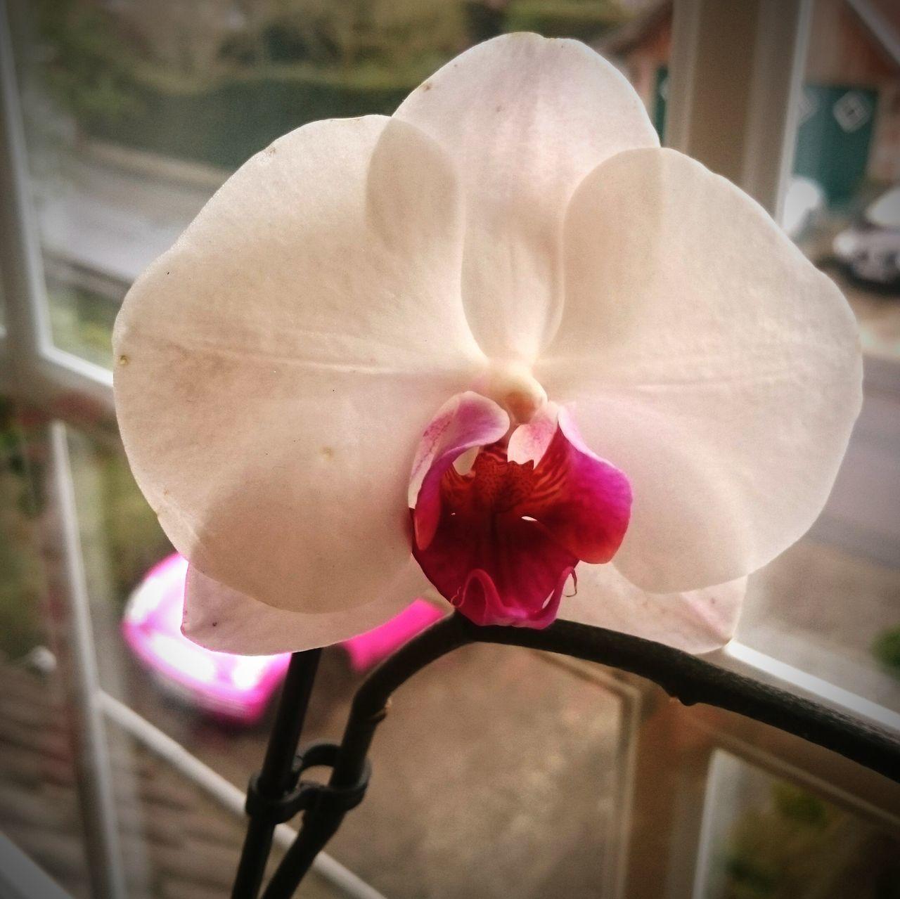 Orchidee Blume Rosa Fenster Nahaufnahme Nah Planzen Blumenwelt