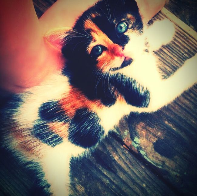 Kitten Cat Beauty In Nature Outdoors Animals Small Cat Cute Kitten Kitty Calico Cat Calico Kittens Calico
