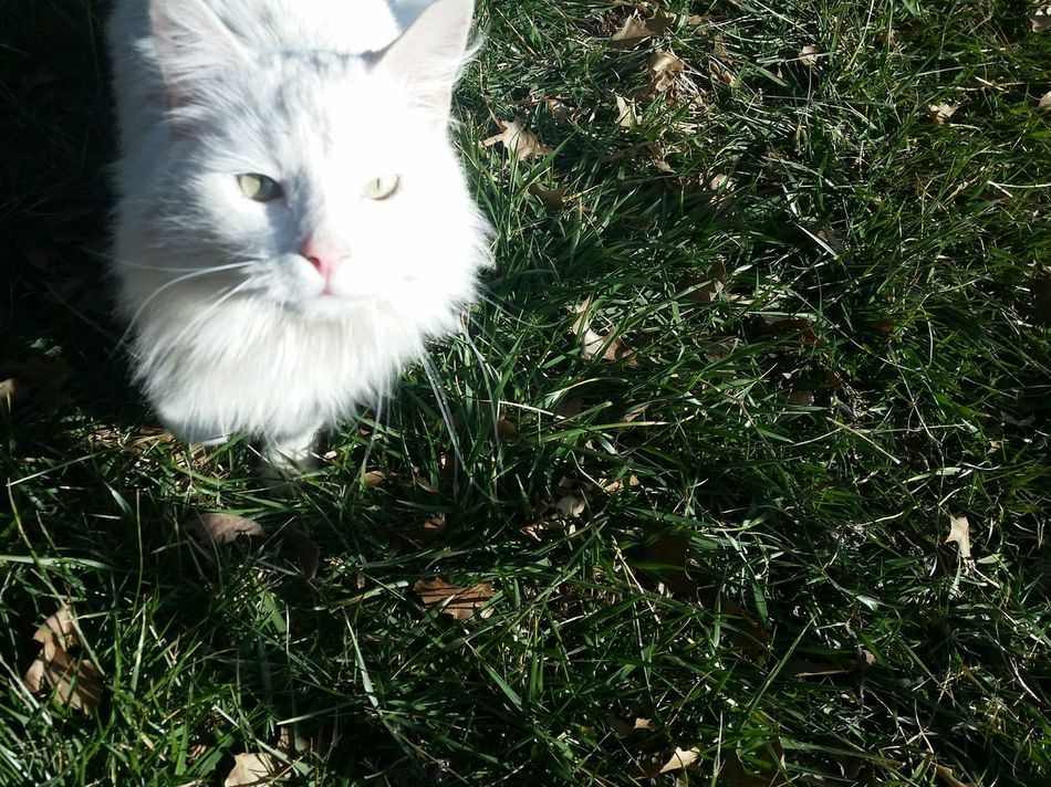 Animals are the best 💕 White Cat Greeneyes Fluffy Cat Green Innocence Close-up Pets Domestic Animals Nofilter No People Beauty In Ordinary Things Rich Colors Vivid Hanging Out Outdoors Beautiful